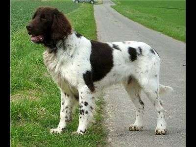 German long-haired Pointing Dog